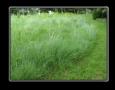 Low Grow Grass Mixture