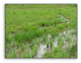 United FACW Wetland Mixture